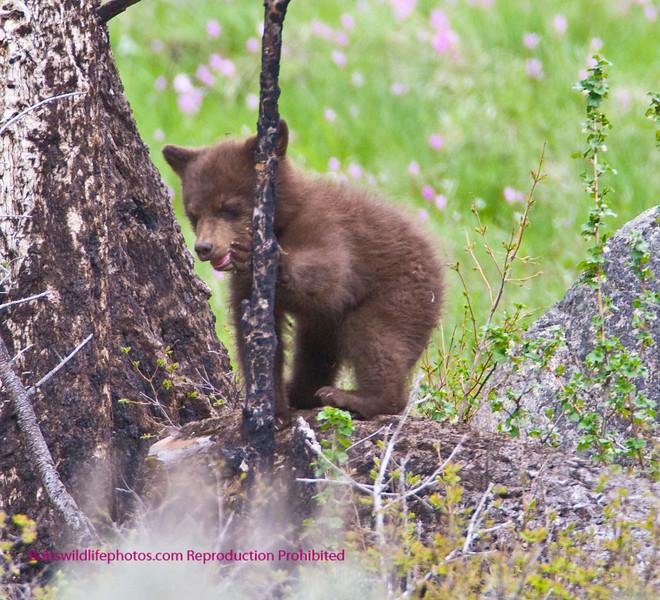 Bears Yellowstone Black_0646