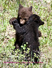 Bears Yellowstone Black_0652 8 5