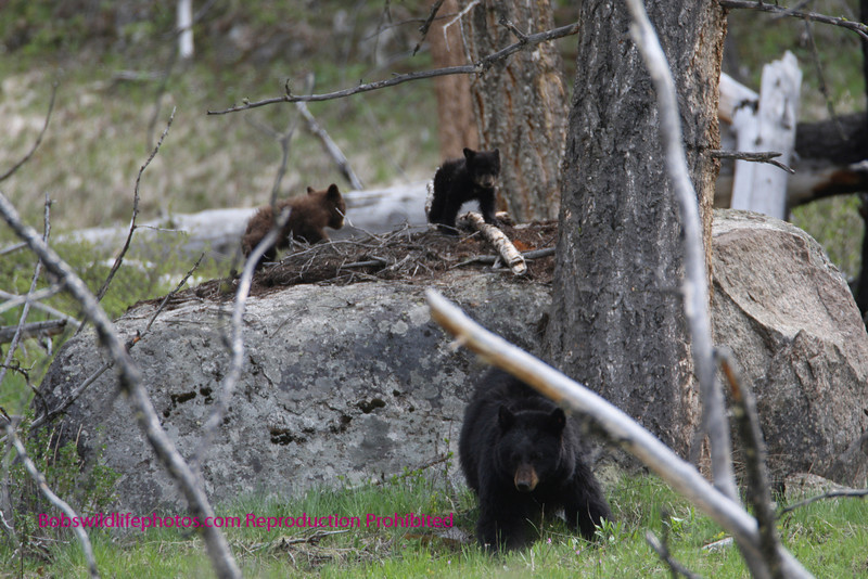 Mom with 2 cubs