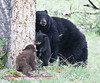 Bears Yellowstone Black_0655