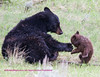 Bear Yellowstone Black disapline 2