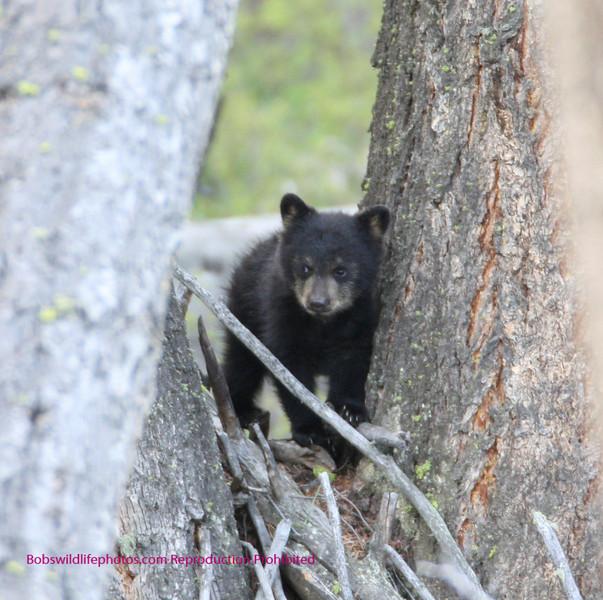Bear Yellowstone Balck cub 3