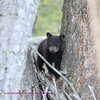 Bear Yellowstone Balck cub 3
