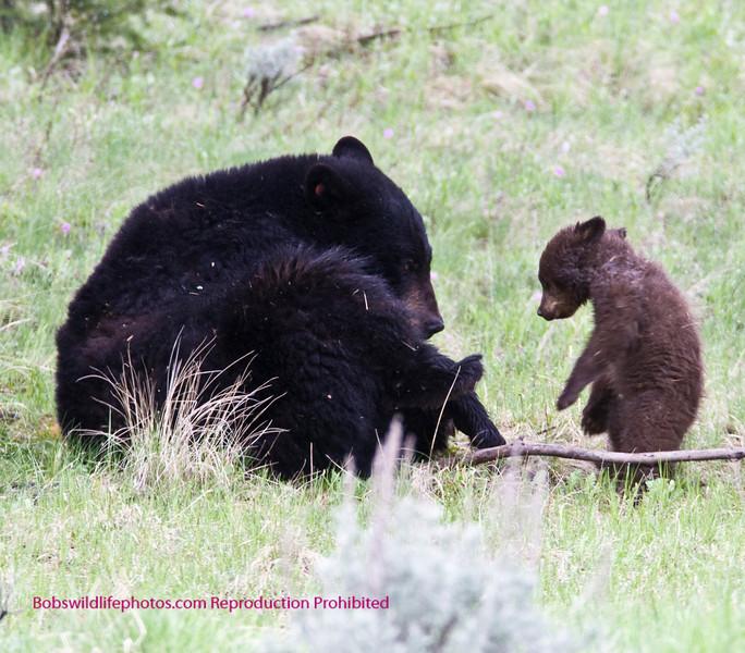Bears Yellowstone Black_0645