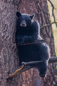 Treed Bear I