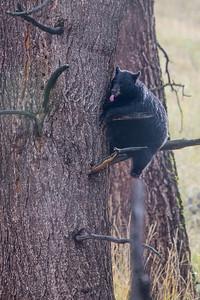 Treed Bear III