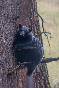 Treed Bear II