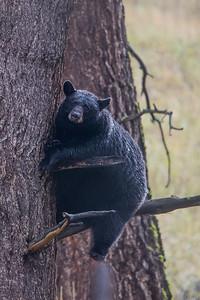 Treed Bear II