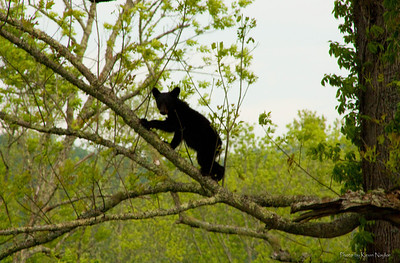 Tree climbing Cub