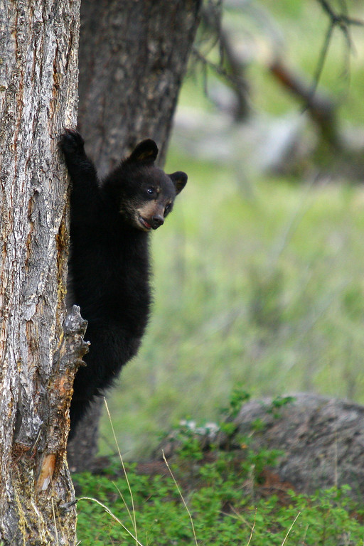 A black bear cub stops to survey his surroundings before climbing down a tree