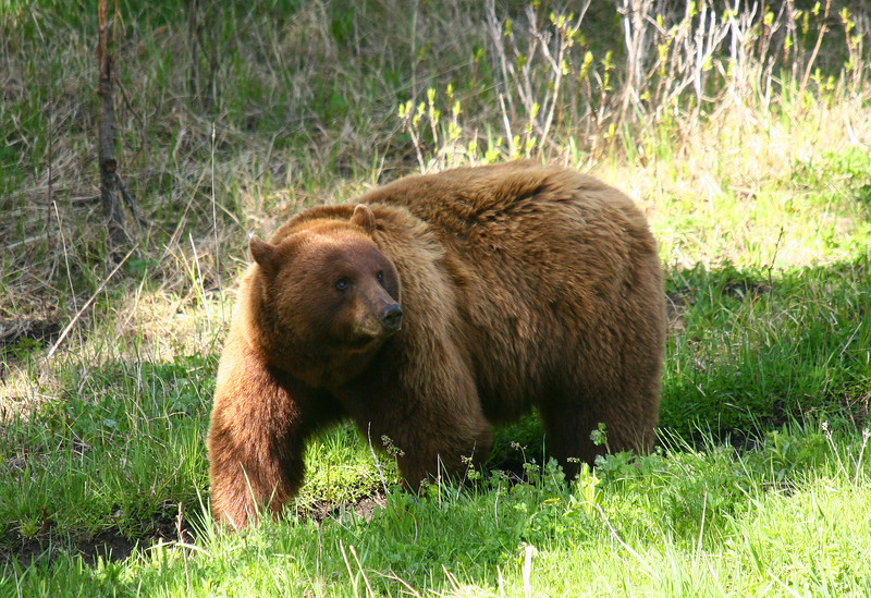 A very large cinnamon colored black bear boar