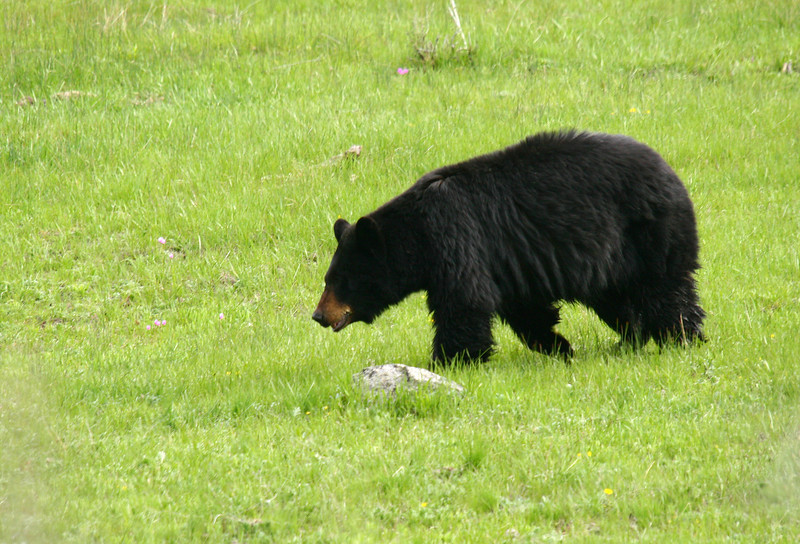 A black bear walks across a meadow