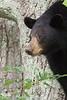 Black bear, Shenandoah National Park