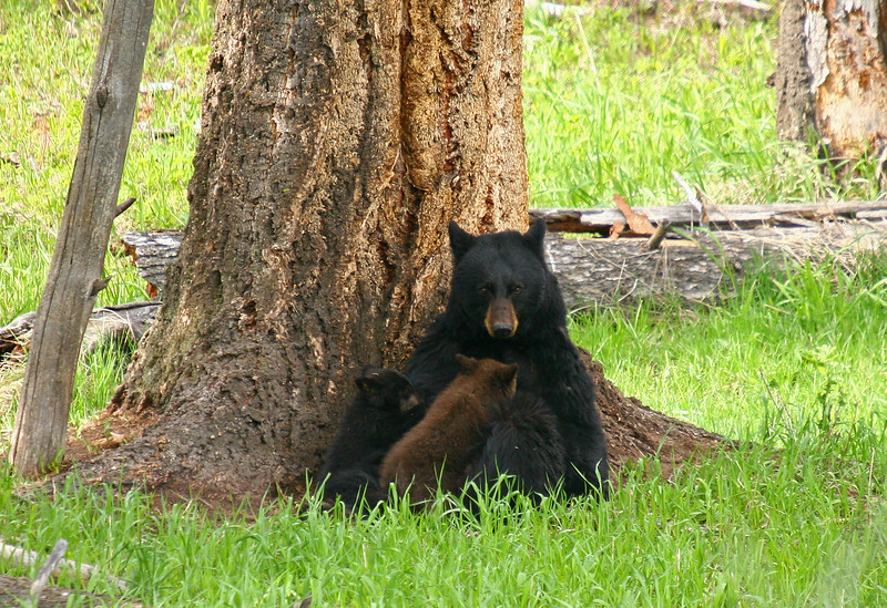 A black bear nurses her two cubs under a pine tree.  One cub is a chocolate color, getting these genes from his father who was also the same color variation.  You can see this bear HERE