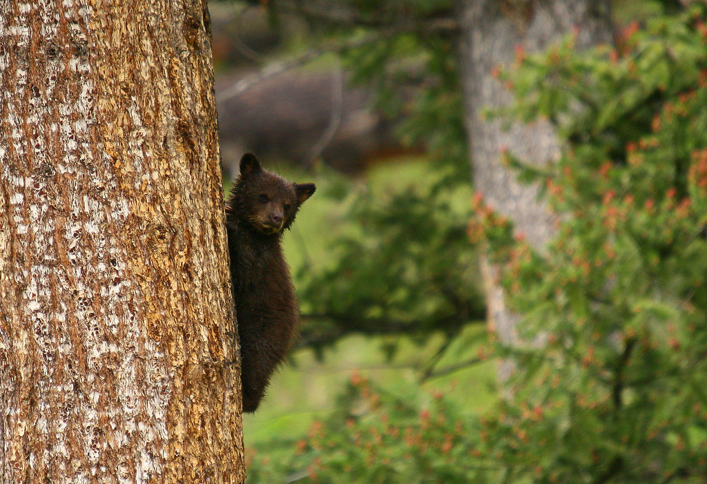 A black bear cub peers around a pine tree trunk