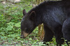 Black bear, Great Smoky Mountains National Park