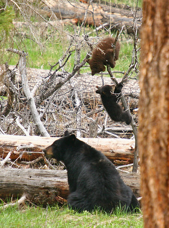"""Rosie"", as the black bear sow is called, watches intently as her two cubs play in a downed tree"