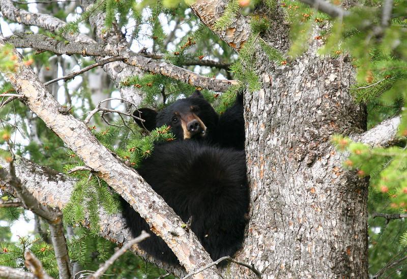 A black bear enjoys an apparently comfortable tree crook