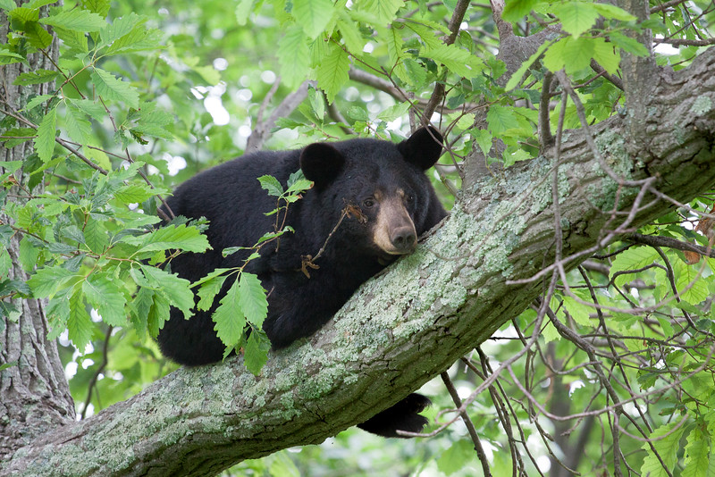 Black bear, Shenandoah National Park