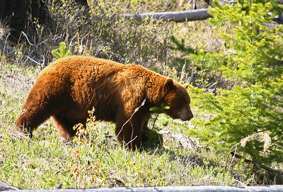 Large cinnamon phase black bear