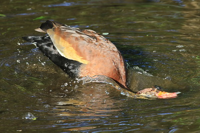 A Black Bellied Whistling Duck bathing