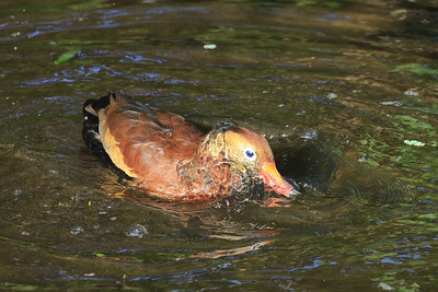 A Black Bellied Whistling Ducktaking a morning bath