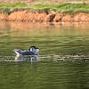 Culler lake Herons 12 May 2018-4159