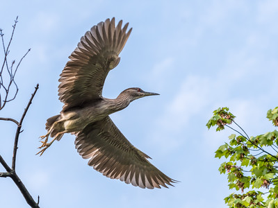 Culler lake Herons 12 May 2018-4056