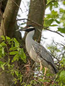 Culler lake Herons 12 May 2018-4031