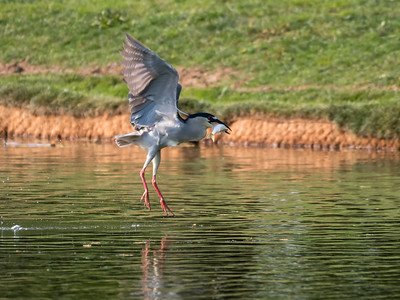 Culler lake Herons 12 May 2018-4162