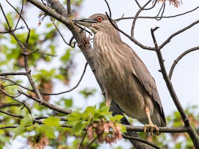 Culler lake Herons 12 May 2018-4050