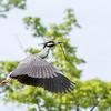 Culler lake Herons 12 May 2018-4077