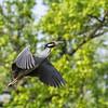 Culler lake Herons 12 May 2018-4075