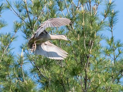 Culler lake Herons 12 May 2018-4227
