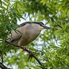 Culler lake Herons 12 May 2018-4024