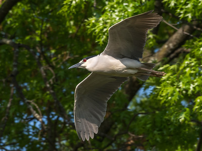 Culler lake Herons 12 May 2018-4261