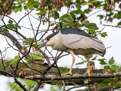 Culler lake Herons 12 May 2018-4049