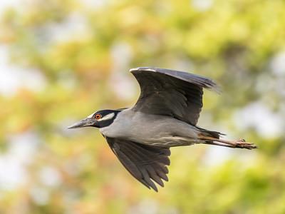 Culler lake Herons 12 May 2018-4090