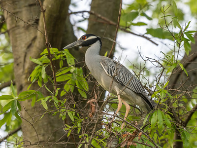 Culler lake Herons 12 May 2018-4029