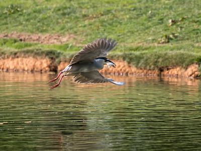 Culler lake Herons 12 May 2018-4163