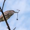 Culler lake Herons 12 May 2018-4052