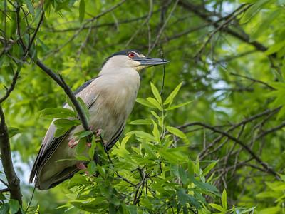 Culler lake Herons 12 May 2018-4039