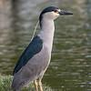 Culler lake Herons 12 May 2018-4017