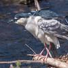 Black Crowned Night Heron 10 Apr 2018-6693