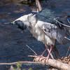 Black Crowned Night Heron 10 Apr 2018-6694