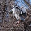 Black Crowned Night Heron 10 Apr 2018-6590