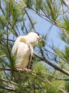 Black Crowned Night Heron 13 Apr 2018-7197