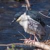 Black Crowned Night Heron 10 Apr 2018-6690