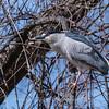 Black Crowned Night Heron 10 Apr 2018-6588