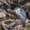 Black Crowned Night Heron 10 Apr 2018-6678